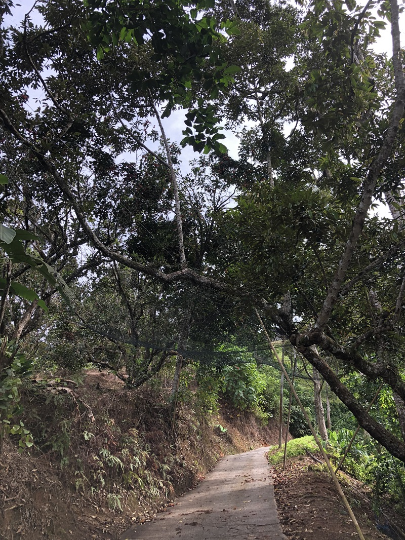 Durian Trees.jpg