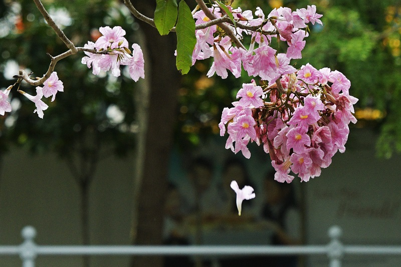Xinhua - Tabebuia close up.jpg
