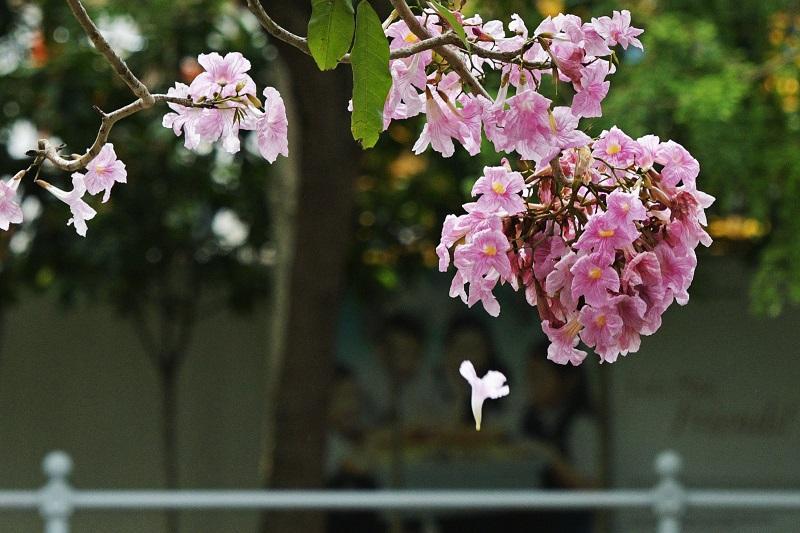 Xinhua - Tabebuia close up.jpg