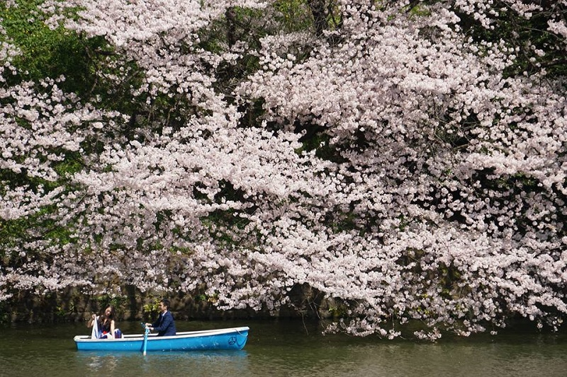 cherry blossom Japan (Yap SC).jpg