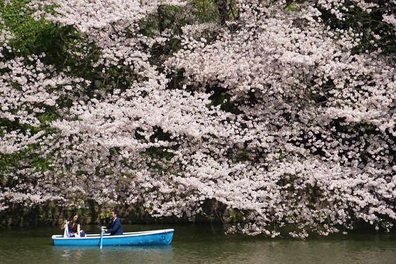 cherry blossom Japan (Yap SC).jpg