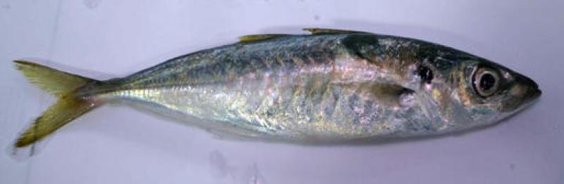 鱼太小,当地人买来当饲料。