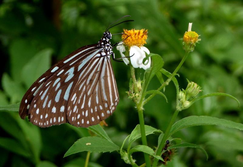20190301-Pulau Ubin Butterfly01.jpg
