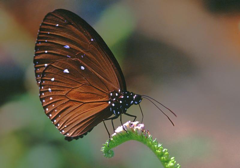 20190301-Pulau Ubin Butterfly02.jpg