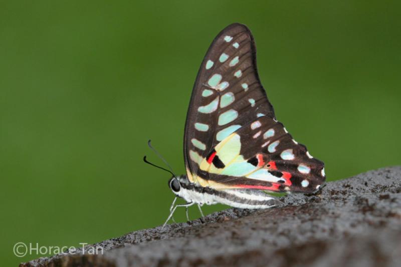20190301-Pulau Ubin Butterfly03.jpg