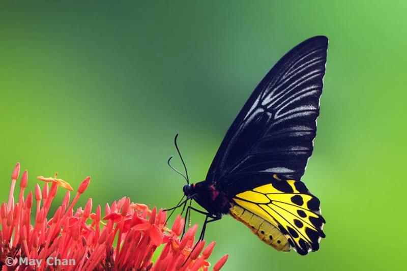 20190301-Pulau Ubin Butterfly04.jpg