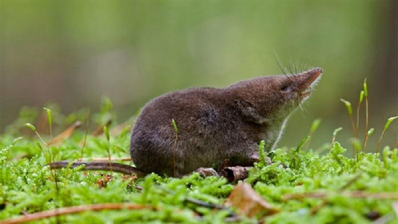 老鼠还是鼩鼱?