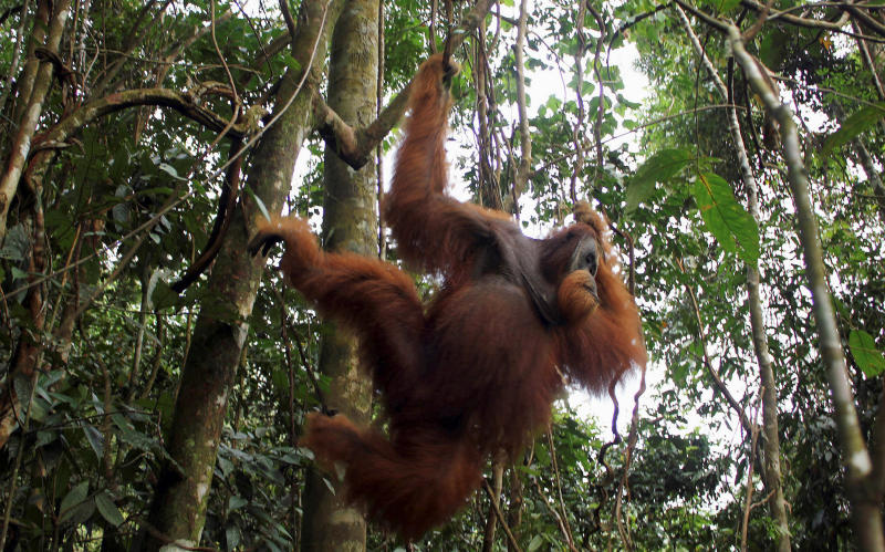 20180503-orangutan.jpg