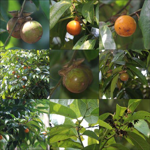 柿树.jpg