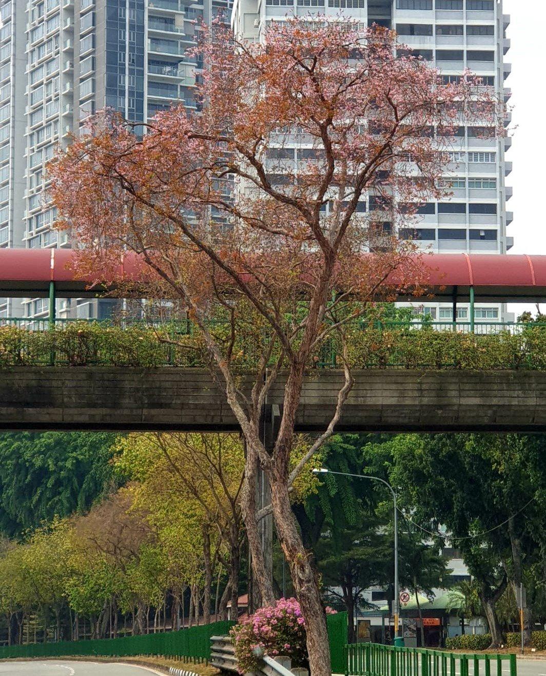粉色越南黄牛木.jpg