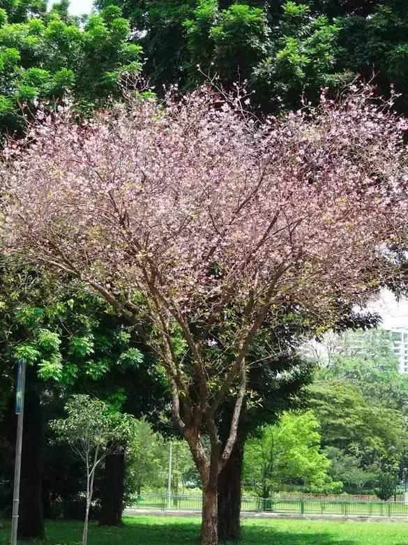 粉色越南20190916.jpg