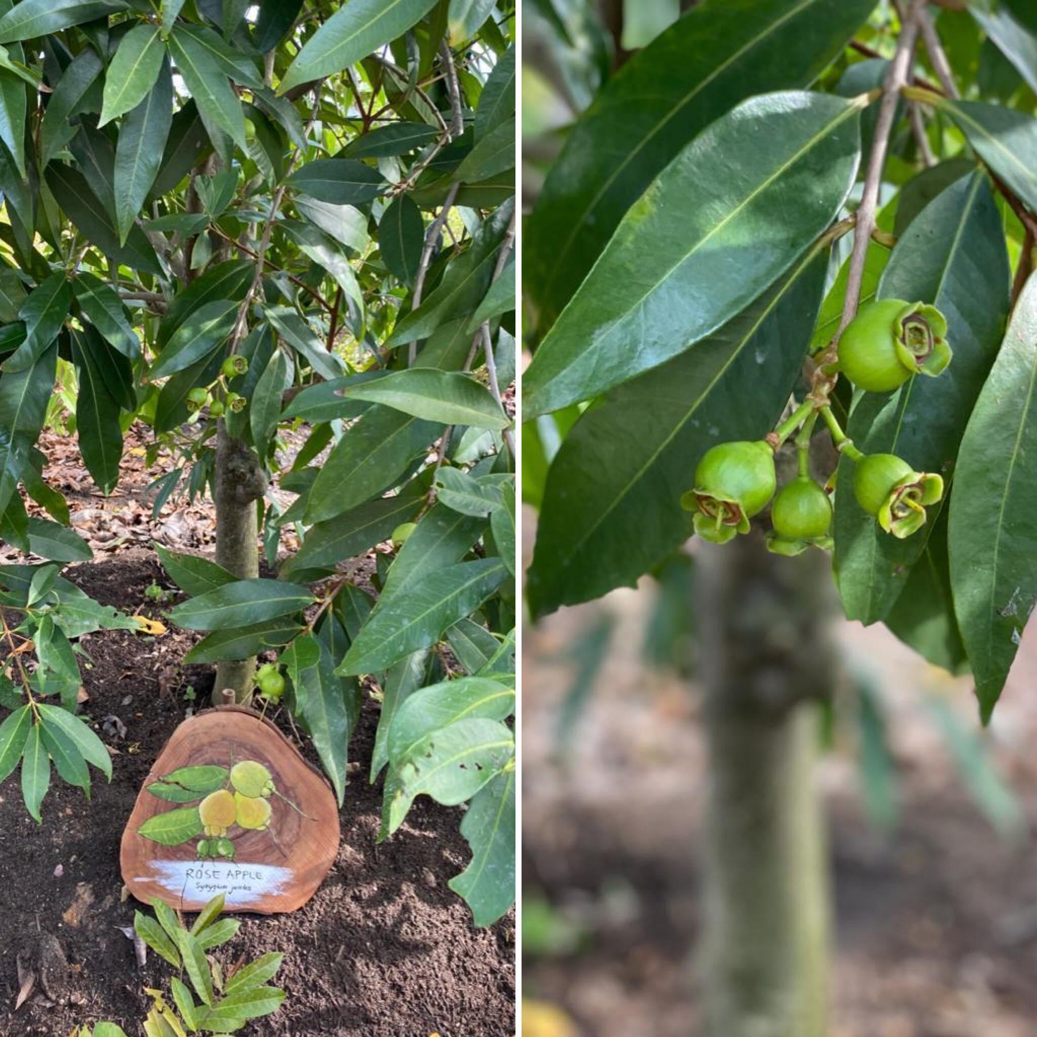 玫瑰苹果 khaw boon wan.jpg