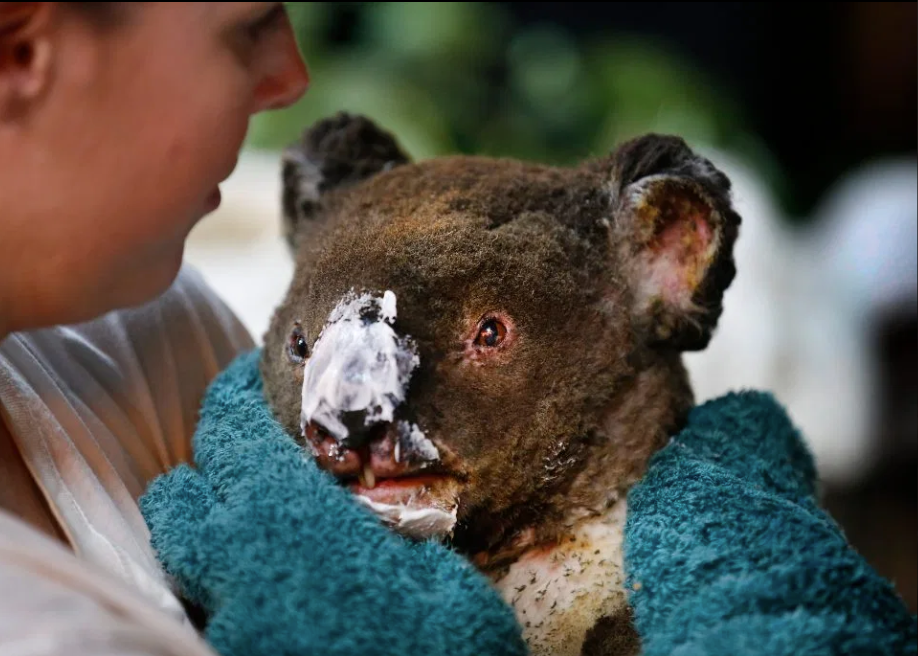20200107-injured koala.png