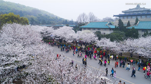 20200320-cherry blossom1.png