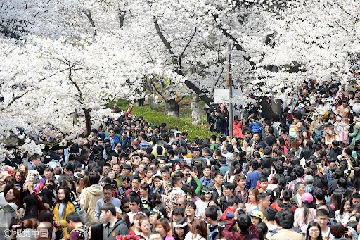 20200320-cherry blossom2.png