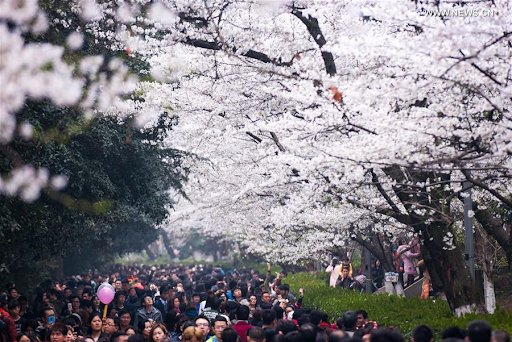 20200320-cherry blossom4.png