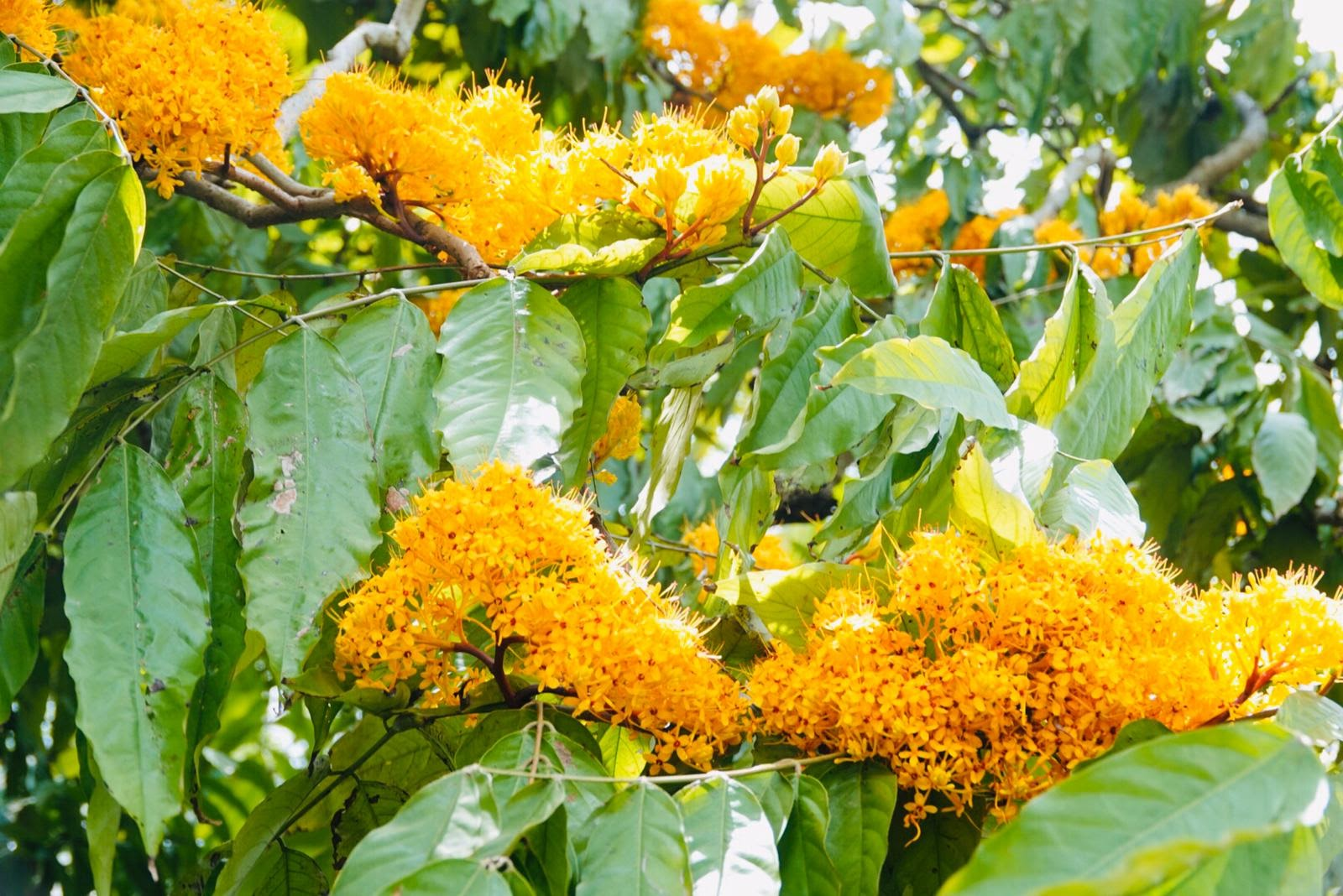 20200410-yellow saraca.jpg