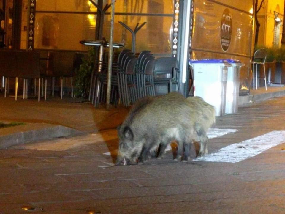 20200413-italy boar.png