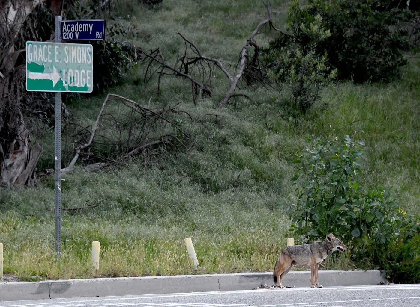 20200413-us coyote.jpg