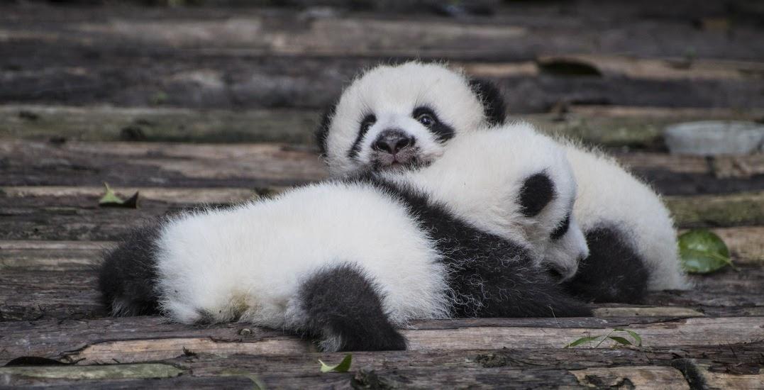 20200513-panda babies.jpg