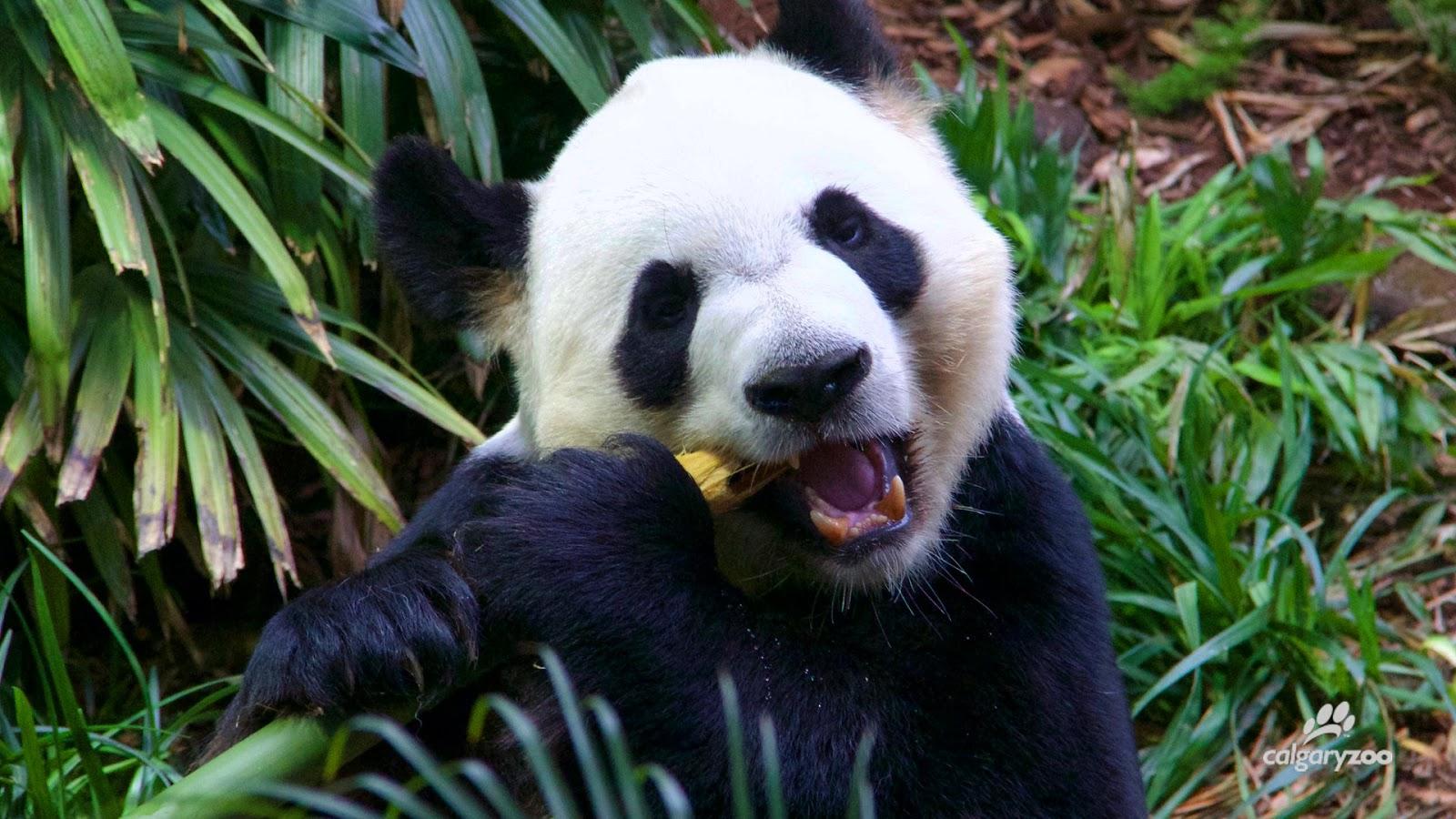 20200513-panda chewing.jpeg