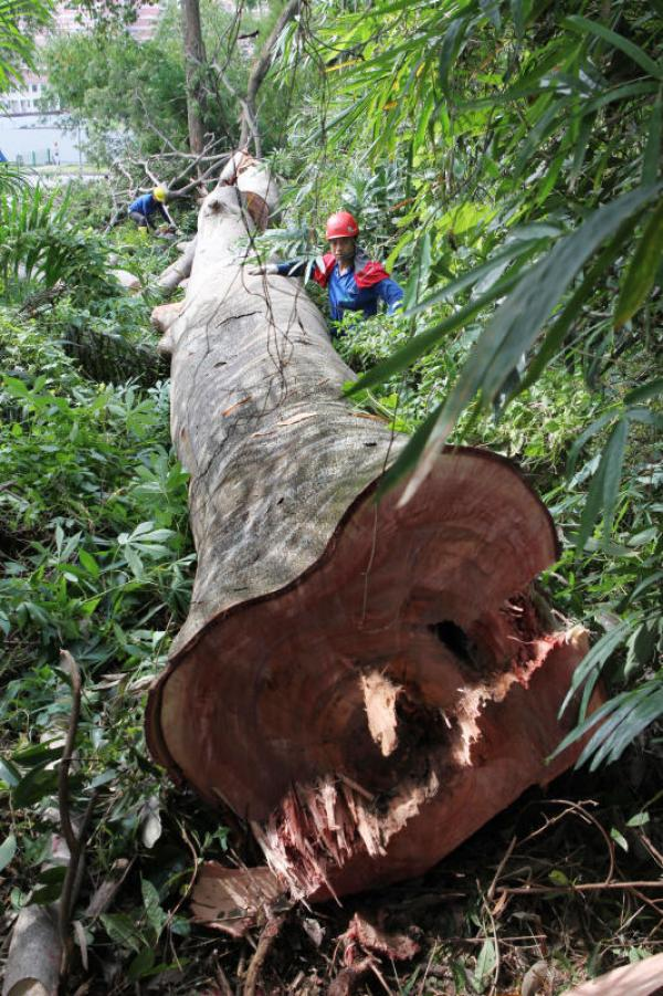 20200622-fell tree (ZB).jpg