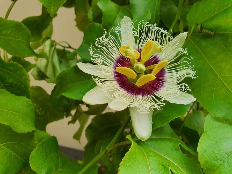 20200914-purple passionfruit.jpg