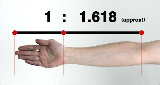6d20fb2773ef1203c1c45ca397f7f2289531be3c-armgoldenratio.jpg