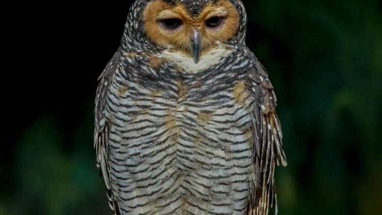 20210324 Spotted wood owl.jpg