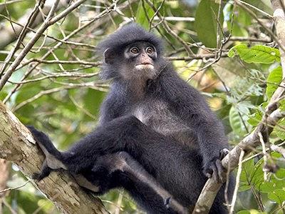 banded-leaf-monkey_5941b.jpg