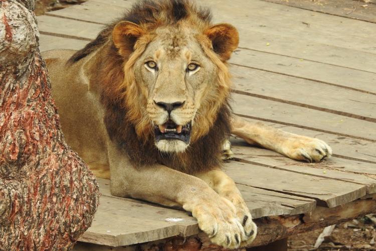 20210903 - Lion.jpeg