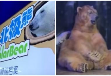 中国海洋馆被指用棕熊假扮北极熊 寒冷中下巴狂颤目光呆滞