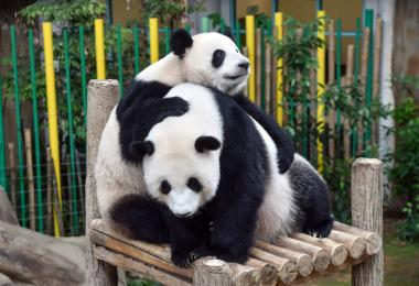 大熊猫暖暖(左)和母亲(右)靓靓