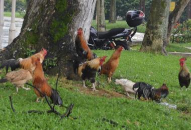 居民为何决定大发慈悲留下野鸡?(取自《新民日报》)
