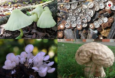 新加坡的野生菇