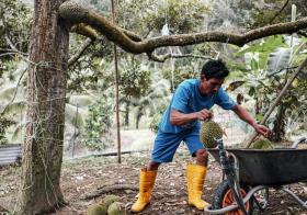 马来西亚猫山王榴梿出口中国