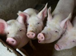 非洲猪瘟肆虐 台湾重罚夹带肉品入关