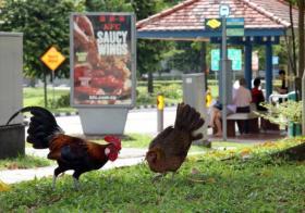 不知道野鸡们有没有看到后面快餐店卖鸡翅的广告......(取自《联合晚报》)