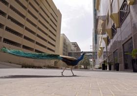 dubai peacock