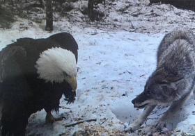 秃鹰不再斗战狼