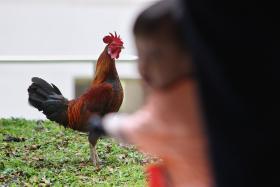 新民路一带的鸡。(联合早报)