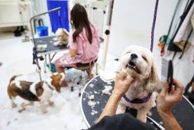 宠物美容院正在为狗狗修建毛发。(联合早报)
