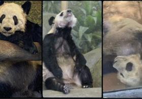 熊猫日渐消瘦