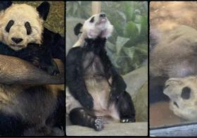 大熊猫丫丫和乐乐日渐消瘦