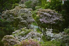 盛放的风林木花酷似樱花