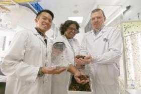 """李光前自然历史博物馆的研究员们向记者展示他们的研究对象""""黑水虻"""""""