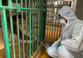 印度动物园的染疫狮子